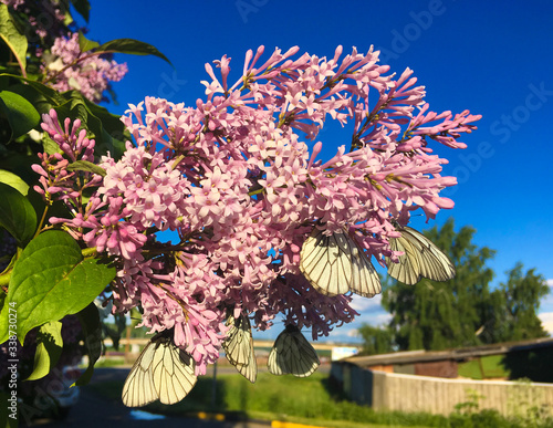 Photo Black-veined white butterflies (Aporia crataegi) on a blossoming branch of pink