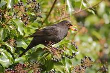 Common Blackbird (Turdus Merula) Eating Ivy Berries In Garden