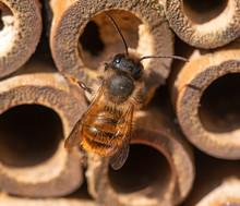 Red Mason Bee  Perched On Q Be...