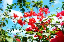 Low Angle View Of Bougainvilleas Against Blue Sky
