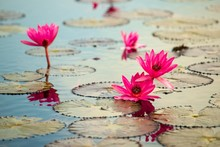 Red Lotus Flower In The Pool