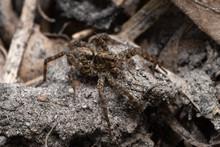Wolf Spider Family Lycosidae O...