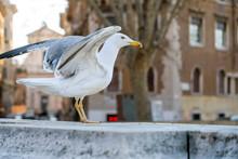 Cute White European Herring Gu...