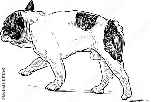 Fototapeta Sketch of walking spotted french dog obraz