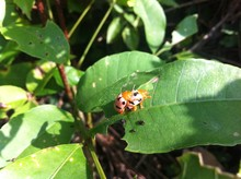 Ladybird Mating On Leaf In Park