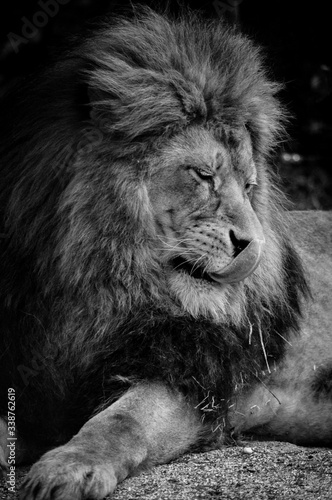 Fototapety, obrazy: Lion King one of five big fight