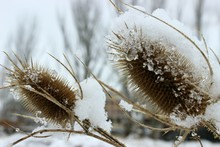 Plant Seedpods In Snow