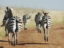 Rear View Of Zebras Walking On Dirt Road In Forest
