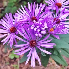 Close-up Of New England Aster Flowers Blooming At Park