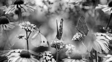 Butterflies And Coneflower Clo...