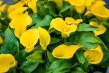 Bouquet Of Yellow Calla Lilies. Zantedeschia