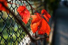 Parthenocissus Red Leaves On B...