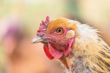 Head Of A Red Hen Close-up. Br...