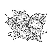 Morning Glory Ipomoea Flower Sketch Engraving Vector Illustration. T-shirt Apparel Print Design. Scratch Board Imitation. Black And White Hand Drawn Image.