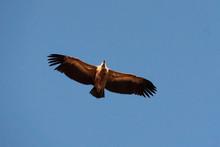 Griffon Vulture Against Blue S...