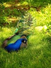 Peacock Sitting On Grassy Field