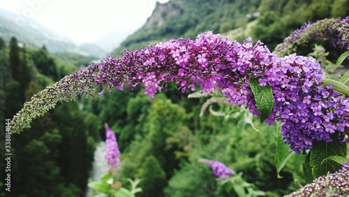 Fototapeta Purple Flowers Blooming Outdoors obraz