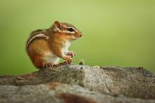 Cute Little Chipmunk Sitting O...