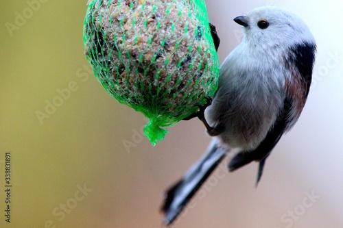Canvas-taulu Close-up Of Whitehead Bird Feeding Feeder