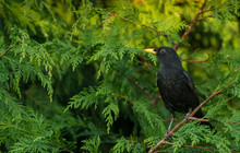 Blackbird.  Close Up Of An Alert, Male Blackbird With Bright Yellow Beak Perched In A Green Conifer Tree And Facing Left.  Horizontal. Space For Copy.