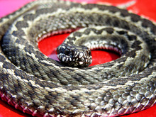 Gray Snake Or Red Background. The Snake Twisted In Rings. Red Danger