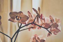 Orchidee Fade