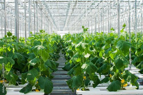 Cucumber plants growing inside a modern greenhouse Tableau sur Toile