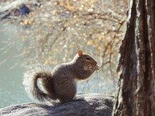Squirrel Eating Peanut While Sitting On Rock