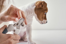 Owner Cuts Nails Jack Russel T...