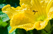 Bee Covered In Pollen Climbing Out Of Yellow Pumpkin Blossom.