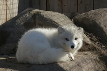 Portrait Of Arctic Fox Resting On Rocks At Ecomuseum Zoo