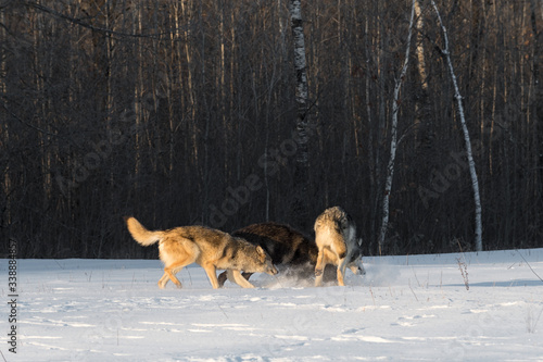Valokuva Grey Wolves (Canis lupus) Pile Up in Early Morning Light Winter