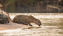 Jaguar Drinking In A River