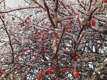 Close-up Of Red Hips On Branch With Ice