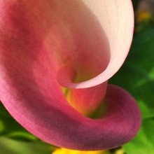 Close-up Of Pink Calla Lily
