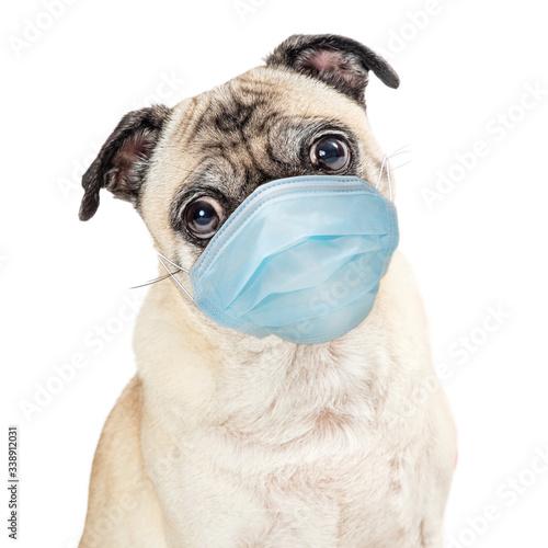 Fototapeta Pug Dog Wearing Protective Surgical Face Mask obraz