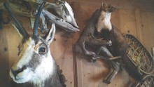Taxidermy Animals On Wooden Wall At Home