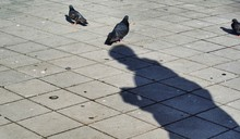 Shadow Of Man Feeding Pigeons