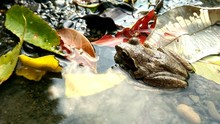 Frog In Shallow Water