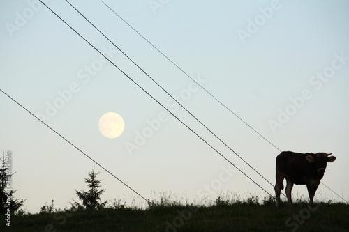 Fotografie, Obraz Cow On Grassy Field Against Full Moon At Dusk