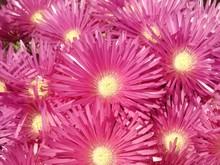 Full Frame Shot Of Pink Sea Fig Flowers