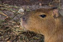 The Capybara (Hydrochoerus Hydrochaeris) Is A Giant Cavy Rodent Native To South America. It Is The Largest Living Rodent In The World.
