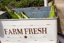 Farm Fresh Corn With The Husks...