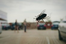 Close-up Of Housefly On Window Glass Of Car