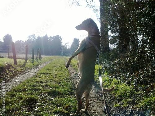 Fotografie, Obraz Dog Standing On Hind Legs In Field