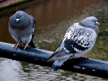 Two Pigeons Perching On Railing
