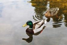 Mallard Ducks Swimming In Lake
