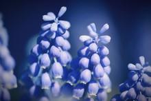 Close-up Of Blue Grape Hyacinth