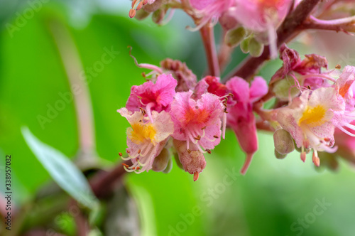 Photo Aesculus carnea pavia red horse-chestnut flowers in bloom, bright pink flowering