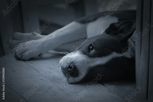 Leinwand Poster Close-up Of Pit Bull Terrier Resting On Wooden Floor